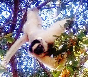 Sifaka's lemur