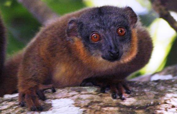 Tsitongambarika red fronted brown lemur